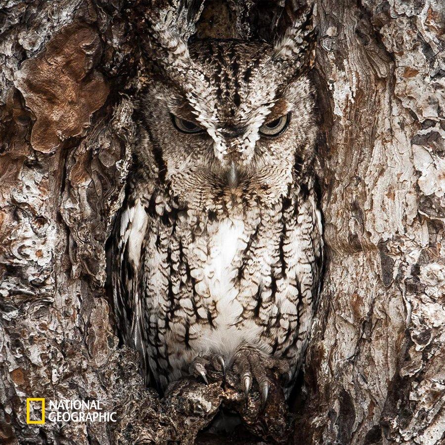 #NG오늘의포토 동물은 생태계의 치열한 먹이사슬에서 살아남기 위한 저마다의 생존 방법을 갖고 있습니다. 그중에는 사진의 부엉이처럼 위장술도 있죠. 나무와 비슷한 보호색을 활용하여 포식자들의 눈을 피해 숨는 부엉이는 숲 속의 닌자라는 별명을 가졌습니다. https://t.co/zxRvHzW1hT