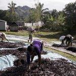 Wild times as Madagascar rides vanilla price bubble