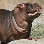 Hippo Attacks, Kills Michigan Grandma During African Safari In Tanzania