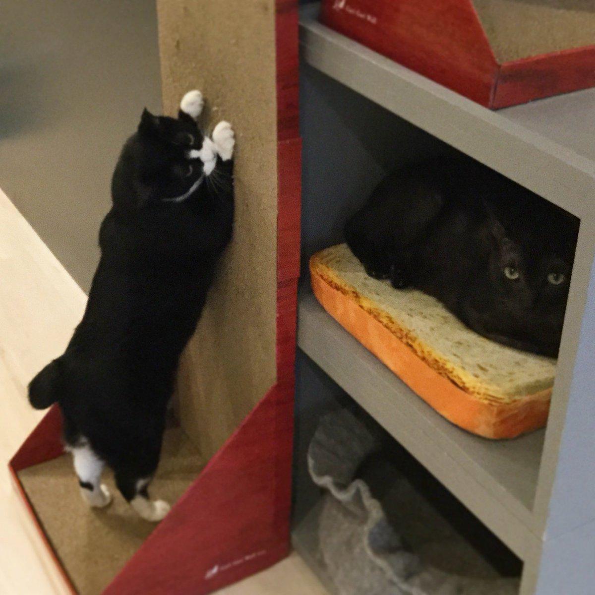 クロまるが気になるソデミちゃん。#ネコリパ池袋 #猫好きさんと繋がりたい