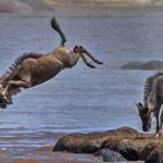 Wildebeest performs stunning dive in crocodile, hippo-infested Maasai Mara river