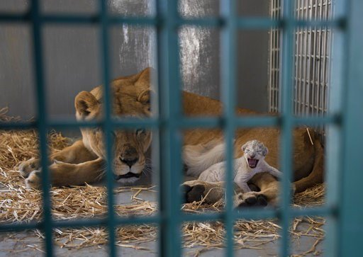 Lion rescued from Syria zoo gives birth in Jordan reserve