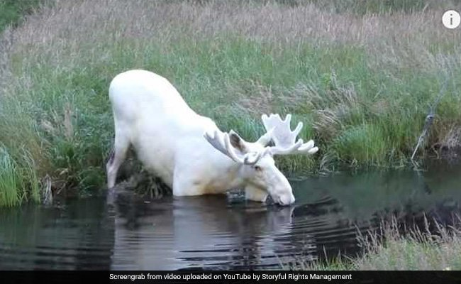 Rare White Moose Caught On Camera. Only 100 Of Them Exist In Sweden