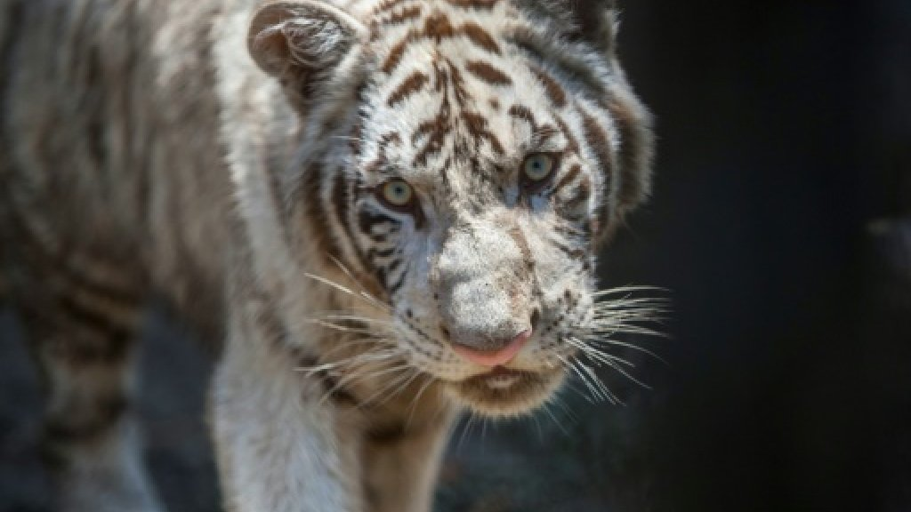 Football: Mexico zoo names tiger cub for French star Gignac