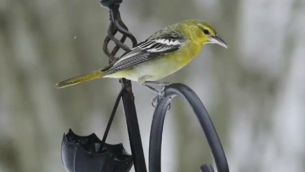 Wayward Bullock's oriole to fly home to B.C. on Air Canada flight