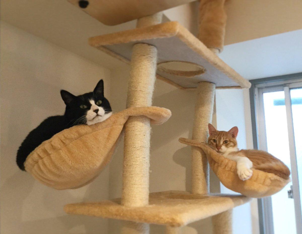 ソデミちゃん。ハンモックの傾きが!!#ネコリパ池袋 #猫好きさんと繋がりたい
