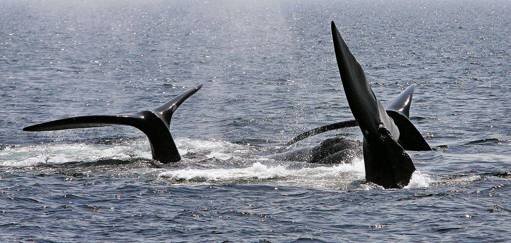 Accidental deaths of endangered whale threatens its survival