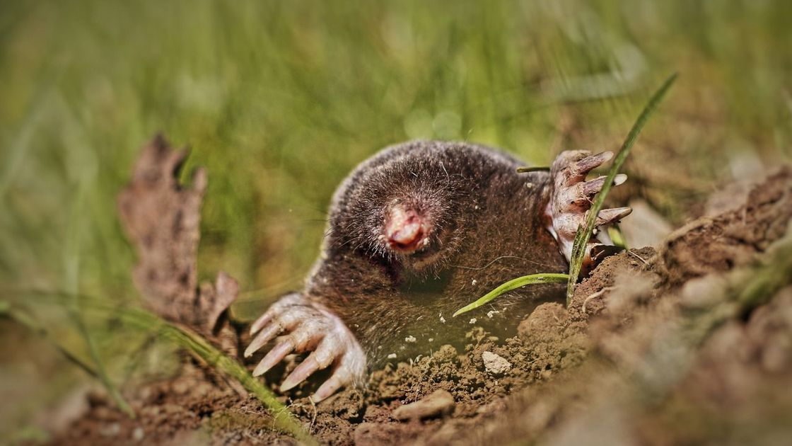 How to Rid Your Yard of Moles