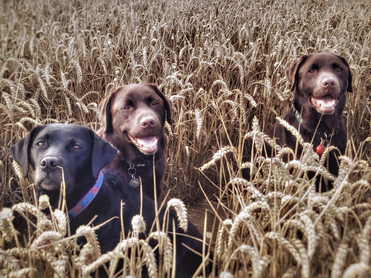 test Twitter Media - The Three Amigos had a blast in the wheat fields today. https://t.co/RjlmRrIaNj