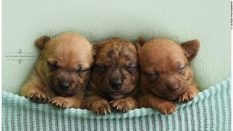 Homeless Chihuahua puppies get 'newborn baby'-style photoshoot