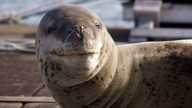 Leopard seals more common in New Zealand than previously thought, scientist says
