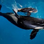 SeaWorld veterinarians euthanize orca that had lung disease