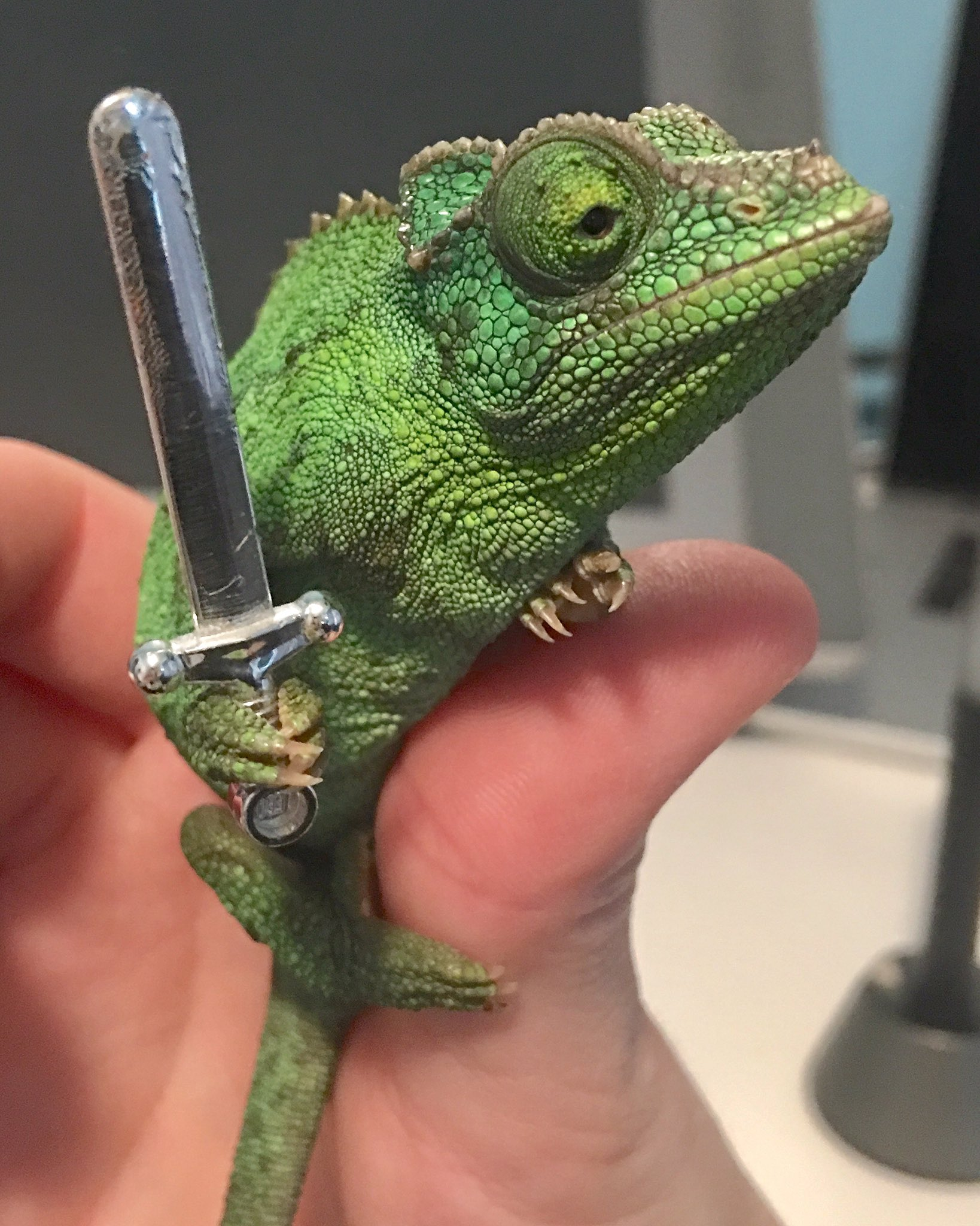 Chameleons are fun cause they'll grab anything you give them. https://t.co/aTJ2Abjrs4