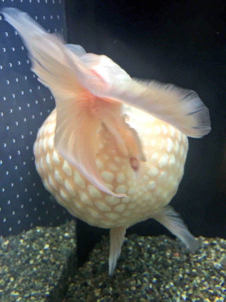 ピンポンパール金魚のお尻がかわいい