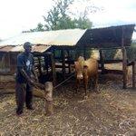Tharaka man, 40, plans walk to State House to gift Uhuru his only bull