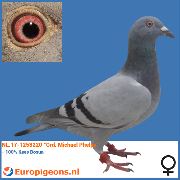 "test Twitter Media - NEW ARRIVAL - NL.17-1253220 ""Grd. Michael Phelps"" (150,-) #europigeons #qualityisachoice #racingpigeons #keesbosua https://t.co/XBnjJQOSdT"