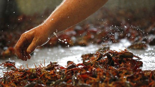 Louisiana's favorite crustacean, invasive in Michigan