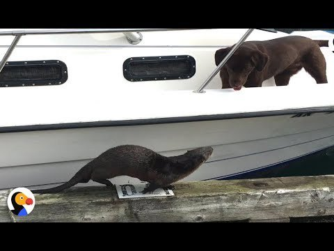 Friendly Otter Wants To Play With Dogs SO BADLY https://t.co/MrEHxDyO7s https://t.co/ZY4HtHPTIS