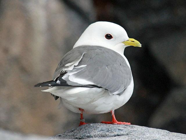 RT @Sataniqueer: This is a Red-Legged Kittiwake and ITS BASICALLY JUST A CHIBI GULL. https://t.co/QBPL41B6Jf