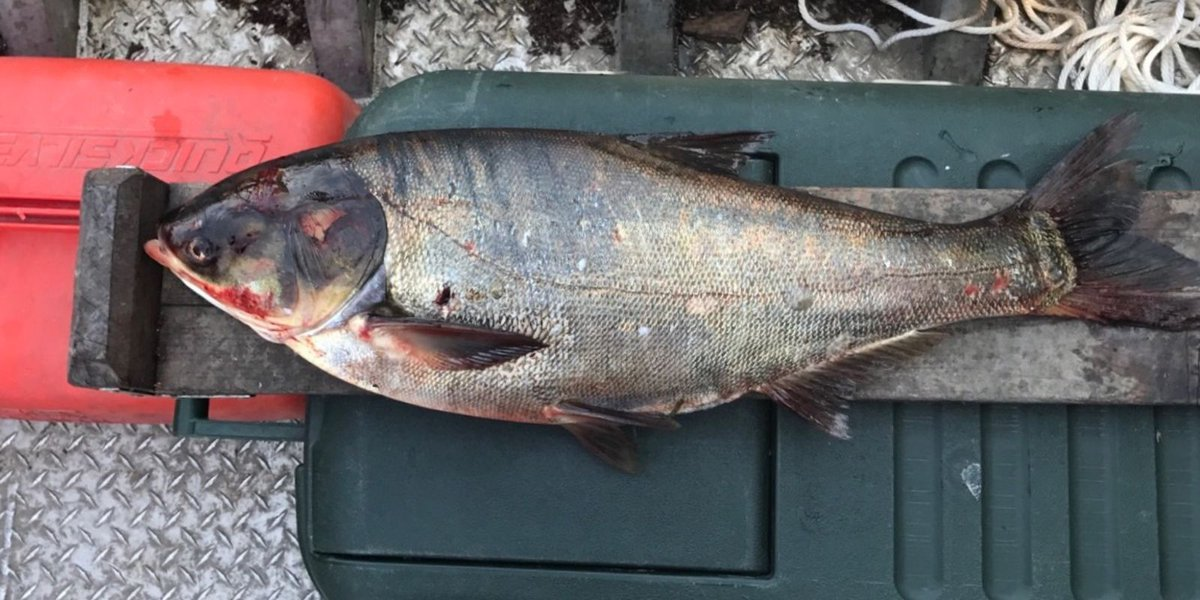 Asian carp found near Lake Michigan got past electric barriers