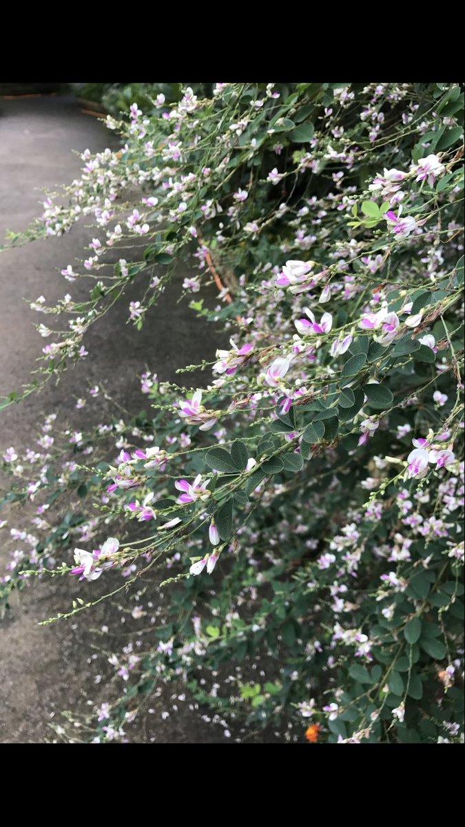 道端に萩と女郎花が美しい。岐路に立つ二人の政治家は、炉辺で語り継がれる英傑名花となれるか。小池百合子。女性首相になるや豹