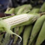 Maize farmers stare at huge losses as cheap imports flood market