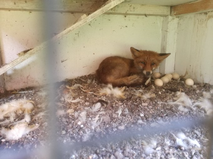 RT @Rene_Dierenambu: Vosje uit kippenhok gehaald. Beetje mak en apathisch. Gaat naar wildopvang in Delft. https://t.co/j7oK0Wrmhk
