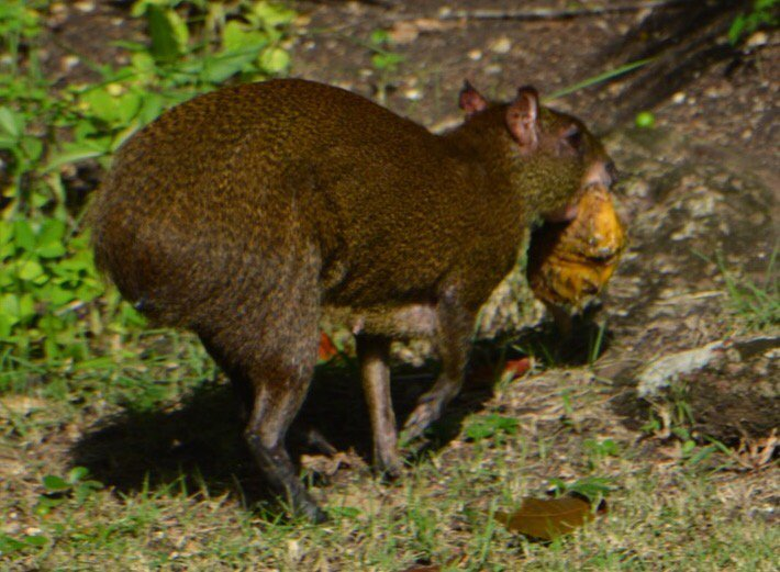 test Twitter Media - Agouti stealing a mango at @chaacreek https://t.co/Panc21xDZG