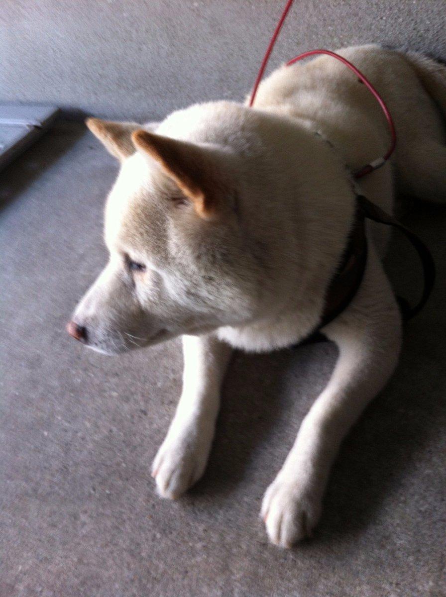 test ツイッターメディア - 人声がして顔上げた白い柴犬 https://t.co/f0WhLTrIEI