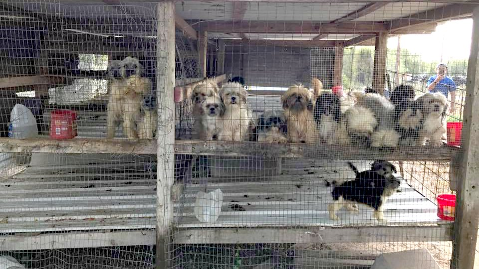 17 Shih Tzu Puppies Rescued From Puppy Mill In Ben Bolt Texas
