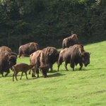 En Seine-Maritime, voyage sur la terre des bisons