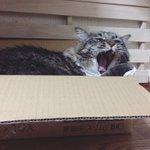 猫ベッドをミヤコに取られた松太郎かわいいから見て