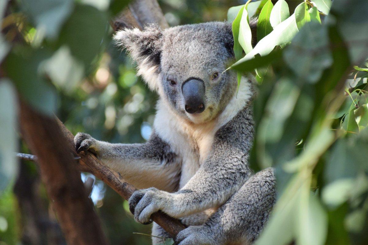 By far the most judgmental koala bear I've ever seen.. https://t.co/avyvSyYdvB https://t.co/HI0Qd0cw4F