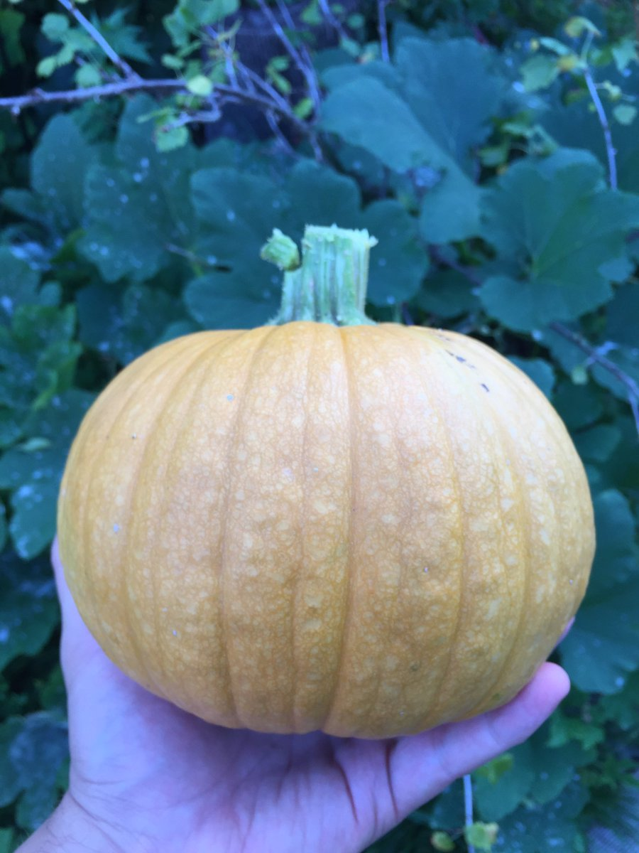 test Twitter Media - First sugar pumpkin harvested. No filter on this photo, just twilight. 🎃 🌱#gardening https://t.co/Quv7anXSPN