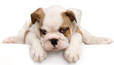 26 bulldog puppies found in hot van at store: Officials