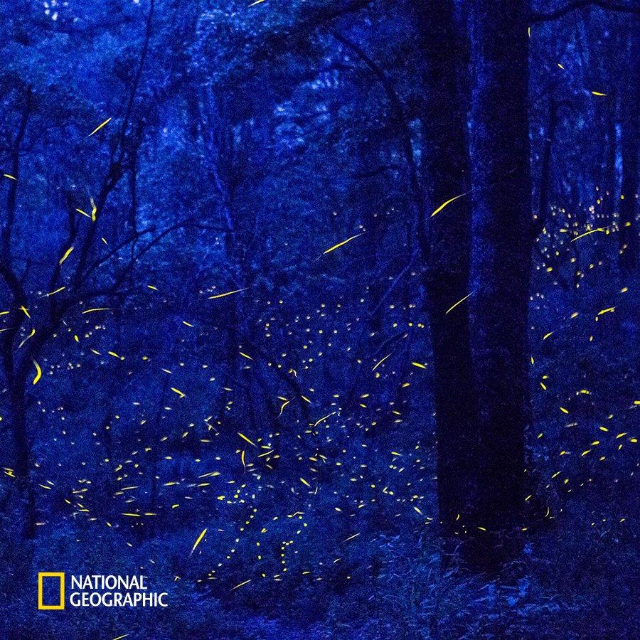 #NG오늘의포토 깊은 밤에도 멕시코의 나나카밀파 숲은 빛으로 가득 차있습니다. 수천 마리의 반딧불이가 숲 속을 밝히고 있기 때문이죠. 반딧불이의 모습이 마치 숲 속에 별들이 내려온 것처럼 아름다워 보입니다. https://t.co/Fhp05YiXqy