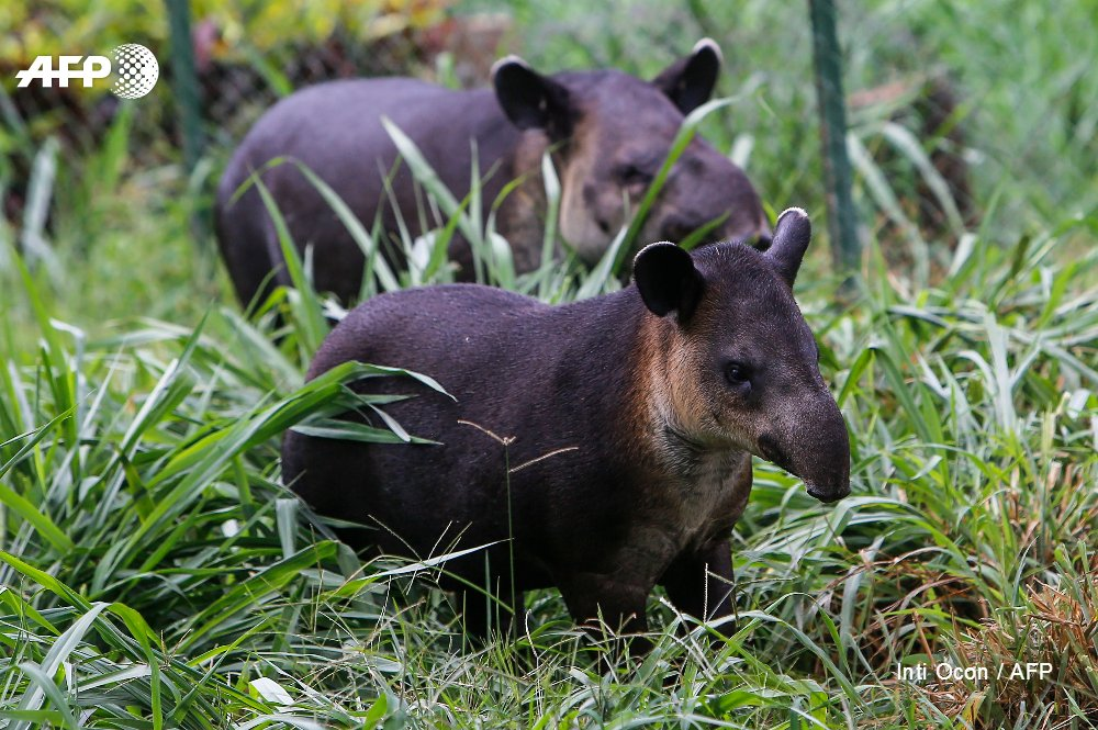 In Nicaragua, a fight to save endangered tapirs