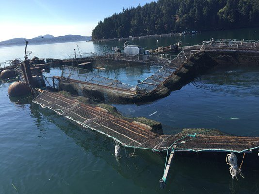 More fish than first thought escaped from island farm: Report