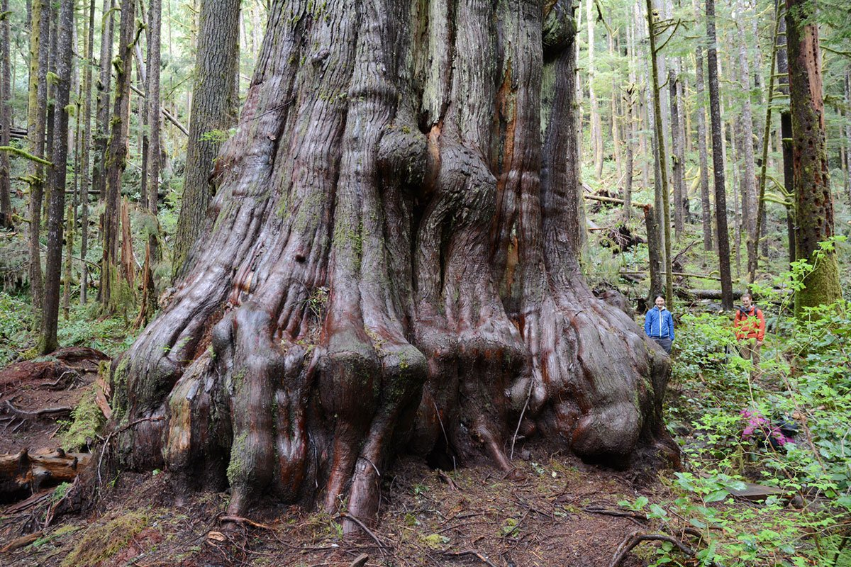 Canada's giant trees are on the cusp of extinction