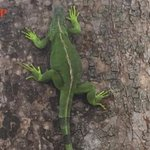 Fat iguana has trouble climbing up tree, should take PM Lee's advice about healthy diet