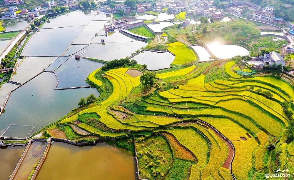 الصفراء الذهبية #تشونغتشينغ