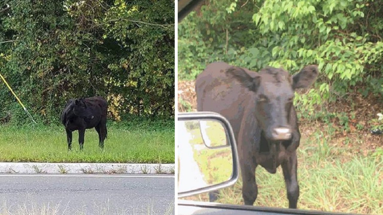 Wayward bull takes a stroll on New Jersey interstate: https://t.co/N4oBCzz2GB https://t.co/NANb0mb3P1