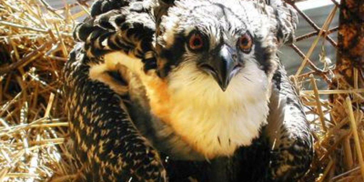 'Backpack' GPS units help scientists track ospreys