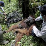 AP PHOTOS: Palm oil kills orangutans in Indonesia peat swamp