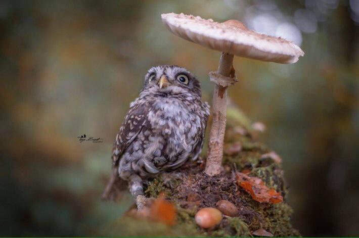 キノコで雨宿りするフクロウの写真がファンタジーすぎて可愛い