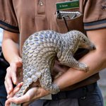 Sabah on fast-track to make pangolin a totally protected species      - Nation