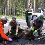 Grizzly bear survives being hit by car travelling 100 km/h near Canmore