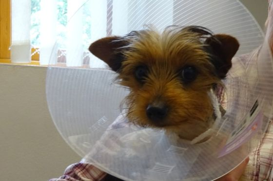 Life-saving heart surgery a success for 'smallest puppy'
