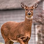 Deer rampage at Melbourne funeral home causes $100k damage