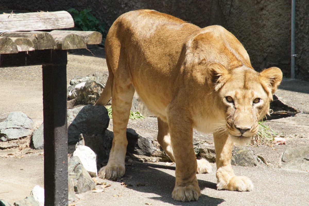 旭山動物園のライラさんは、20年以上生きているとは思えない若々しさ。オトさんは実は、彼の娘でサンのお姉さんなんだとか。オ